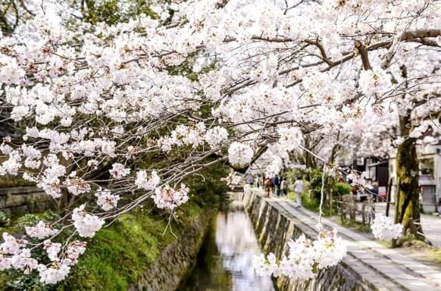 White cherry blossoms at the Philosophers Path in Kyoto.