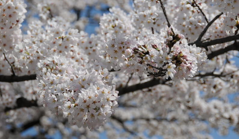 White cherry blossoms up close.