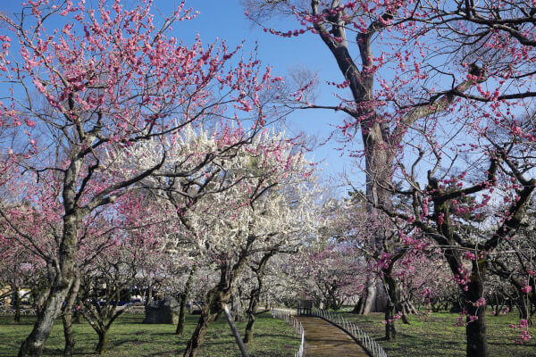 The plum gardens of Kitano Tenmangu in full bloom.